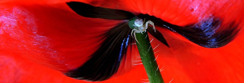 poppy-spider-dscn9113-200x412