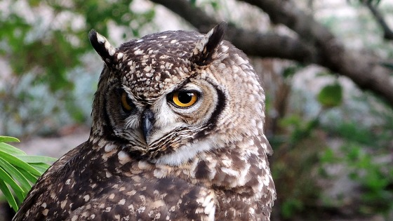 "A ""rare visitor"" the book states, but this Cape Eagle Owl seems to like our garden."